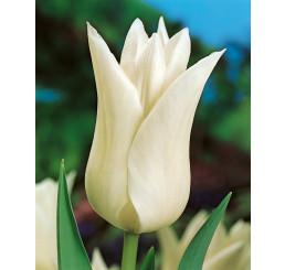 Tulipa ´White Triumphator´ / Tulipán, bal. 5 ks, 11/12