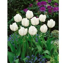 Tulipa ´White Parrot´ / Tulipán, bal. 5 ks, 12/+