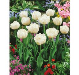 Tulipa ´Mount Tacoma´ / Tulipán, bal. 5 ks, 11/12