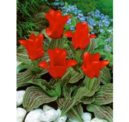 Tulipa ´Red Riding Hood´ / Tulipán ´Červená Karkulka´, bal. 5 ks, 11/12