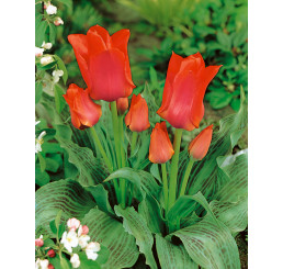 Tulipa ´Toronto´ / Tulipán, bal. 5 ks, 11/12
