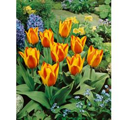 Tulipa ´Cape Cod´ / Tulipán, bal. 5 ks, 11/12