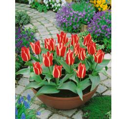 Tulipa ´Pinocchio´ / Tulipán, bal. 5 ks, 11/12