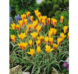 Tulipa ´Chrysantha´ / Tulipán, bal. 5 ks, 6/+