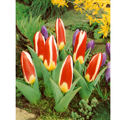 Tulipa ´The First´ / Tulipán, bal. 5 ks, 11/12