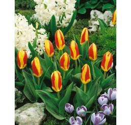 Tulipa ´Stresa´ / Tulipán, bal. 5 ks, 11/12