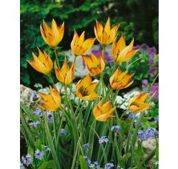 Tulipa ´Orphanidea Flava´ / Tulipán, bal. 5 ks, 6/+