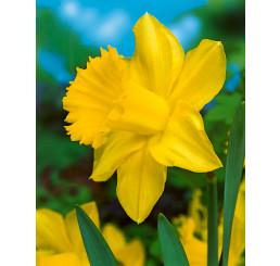 Narcis ´Golden Harvest´, bal. 5 ks, 12/14