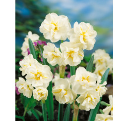 Narcis ´Sir Winston Churchill´, bal. 5 ks, 12/14