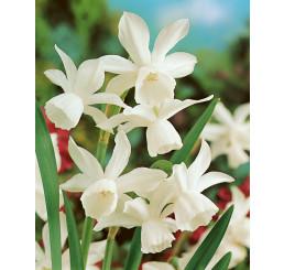Narcis ´Triandrus Thalia´, bal. 5 ks, 12/14