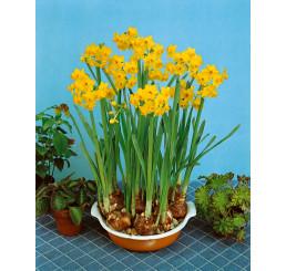 Narcis ´Grand Soleil d´Or´ / Pokojový narcis, bal. 5 ks, 13/14