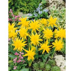 Narcis ´Rip van Winkle´, bal. 5 ks, 12/+