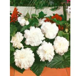 Begonia fimbriata ´White´ / Begónie roztřepená bílá, bal. 3 ks, 5/+