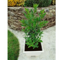 Laurus nobilis / Bobkový list / Vavřín lékařský, 20-30 cm, K9