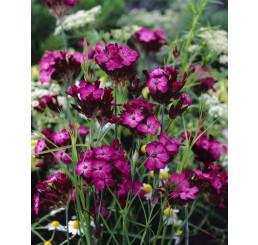 Dianthus carthusianorum / Hřebíček kartuziánský , K9