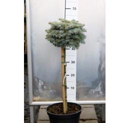 Abies concolor ´Blue Saphir´ / Jedle ojíněná, km. 60 -80 cm, C7,5