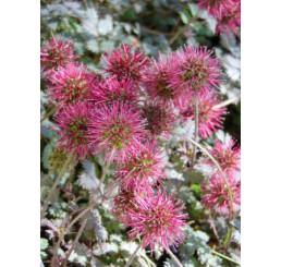Acaena microphylla ´Kupferteppich´ / Acéna drobnolistá  / Plazilka, K9