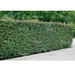 Acer campestre / Javor babyka, bal. 10 ks VK na živý plot