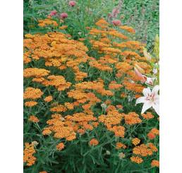 Achillea millefolium 'Feuerland' / Řebříček obecný , K9