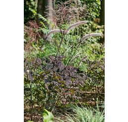 Actaea simplex ´Brunette´ / Ploštičník obyčejný, C1