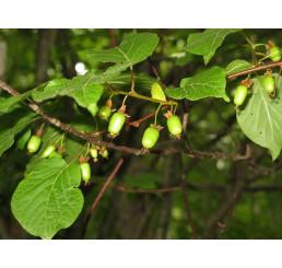 Actinidia kolomikta ´Dr. Szymanowski´ / samosprašné mini kiwi, 80-100 cm vyv., K11