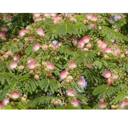 Albizia julibrissin rosea / Kapinice / Perská akácie, K13