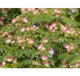 Albizia julibrissin rosea / Kapinice / Perská akácie, 60-80 cm, C3