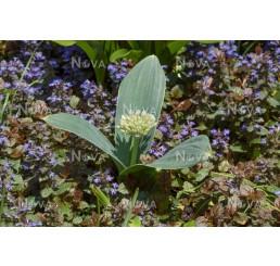 Allium karat. ´Ivory Queen´ / Česnek okrasný, bal. 3 ks, 12/14