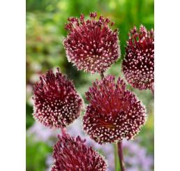 Allium ´Red Mohican´ / Okrasný česnek, bal.3 ks, 10/+