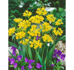 Allium Moly Luteum / Zlatý česnek, bal. 20 ks, 6/+