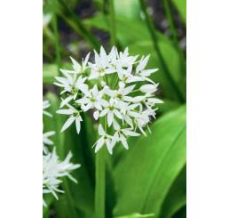 Allium ursinum / Česnek medvědí, I.