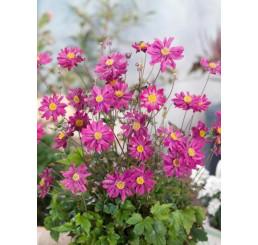 Anemone ´Prinz Heinrich´ / Sasanka plnokvětá růžová, K9