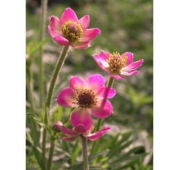 Anemone multifida Annabella Deep Rose / Veternica,, C1,5