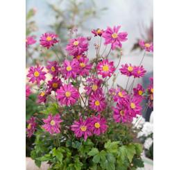 Anemone ´Prinz Heinrich´ / Sasanka plnokvětá růžová, C1,5