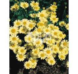 Anthemis tinctoria ´Wargrave´ / Rmen barvířský, C1,5