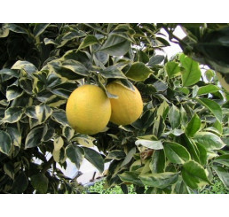 Citrus sinensis  ´Arancio Variegata´ / Pomerančovník panašovaný, 30 cm, C2