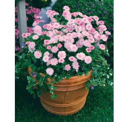 Argyranthemum ´Percussion´®Double Pink / Kopretinovec růžový, bal. 6 ks sadbovačů
