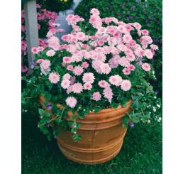 Argyranthemum ´Percussion´®Double Pink / Kopretinovec růžový, bal. 6 ks, 6x K7