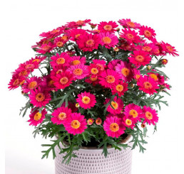 Argyranthemum Day-Zee® ´Wine Red´ / Kopretina, bal. 6 ks sadbovačů