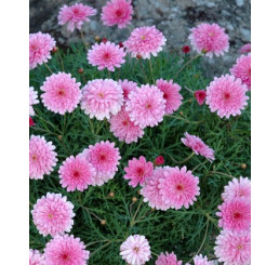 Argyranthemum ´Double Pink Honeybees´® / Kopretinovec růžový, bal. 3 ks, 3x K7