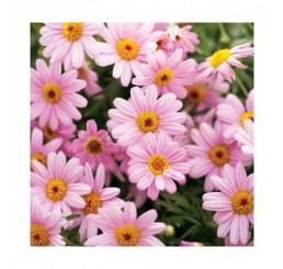 Argyranthemum Honeybees® ´Pink Eye´ / Kopretinovec růžový, bal. 3 ks, 3x K7