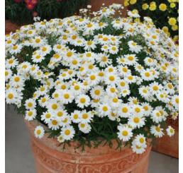 Argyranthemum ´White Butterfly´ / Kopretinovec bílý, bal. 6 ks sadbovačů