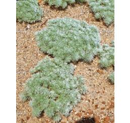 Artemisia schmidtiana ´Nana´/ Pelyněk Schmidtův, K9