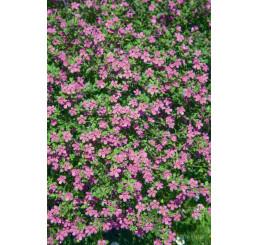 Bacopa ´Giga Rose´® / Bakopa růžová, bal. 6 ks sadbovačů