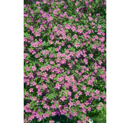 Bacopa ´Giga Rose´® / Bakopa růžová, bal. 3 ks, 3x K7