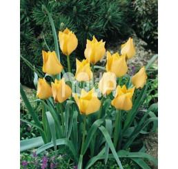 Tulipa ´Batalinii Bright Gem´ / Tulipán, bal. 5 ks, 6/+