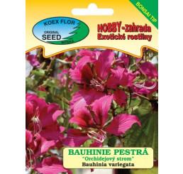 Bauhinia variegata / Bauhinie pestrá ´Orchidejový strom´, bal.3 s.  - bonsaj tip