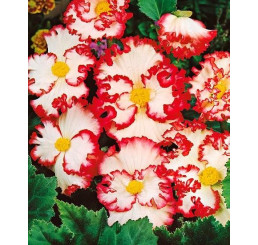 Begonia Crispa Margin. ´White/Red´ / Begónie obroubené bílo-červené bílá, bal. 3 ks, 5/6