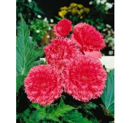 Begonia fimbriata ´Pink´ / Begónie roztřepená růžová, bal. 3 ks, 5/+