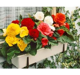 Begonia double ´Red´ / Begónie velkokvětá červená, bal. 3 ks, 5/+
